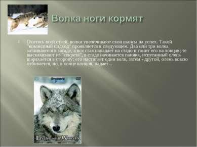 """Охотясь всей стаей, волки увеличивают свои шансы на успех. Такой """"командный п..."""