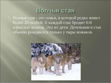 Волчья стая - это семья, в которой редко живет более 20 особей. В каждой стае...