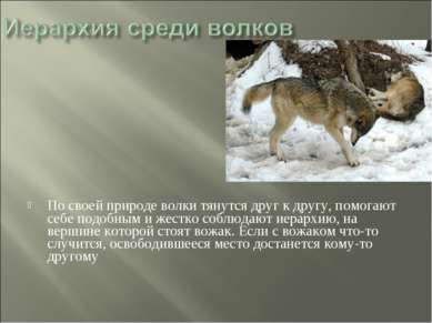 По своей природе волки тянутся друг к другу, помогают себе подобным и жестко ...