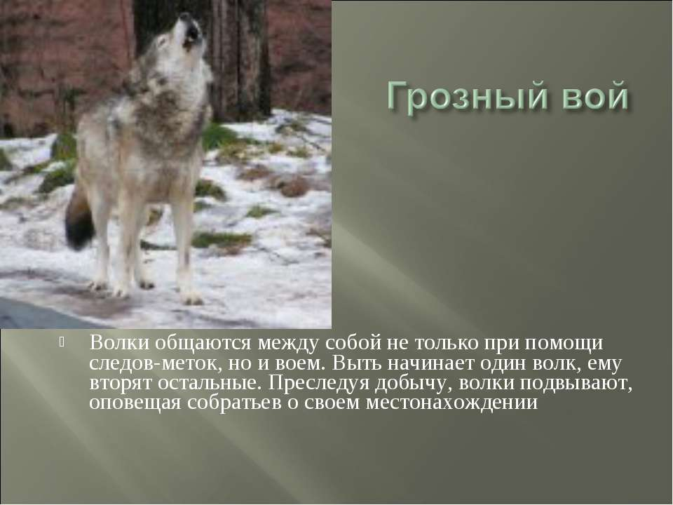 Волки общаются между собой не только при помощи следов-меток, но и воем. Выть...