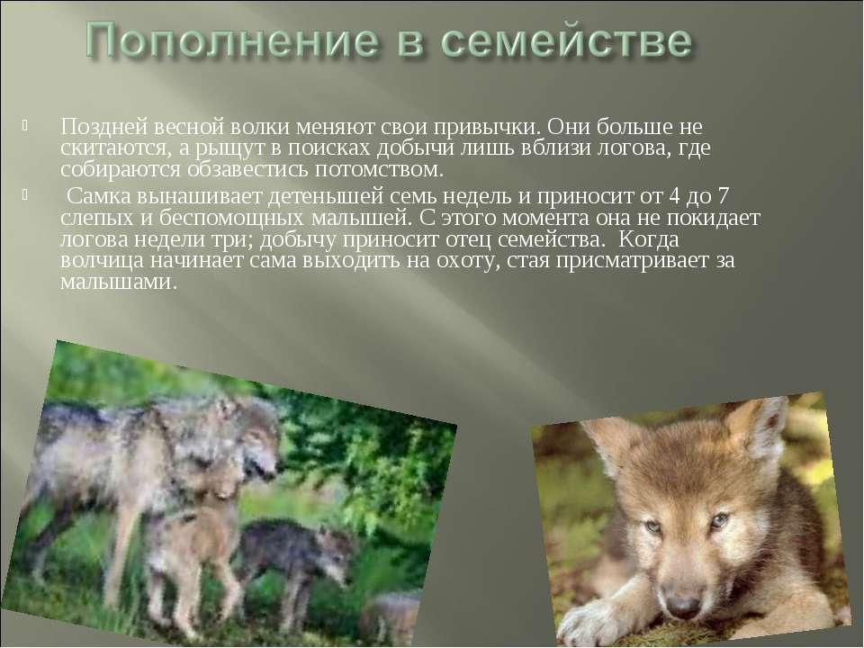 Поздней весной волки меняют свои привычки. Они больше не скитаются, а рыщут в...