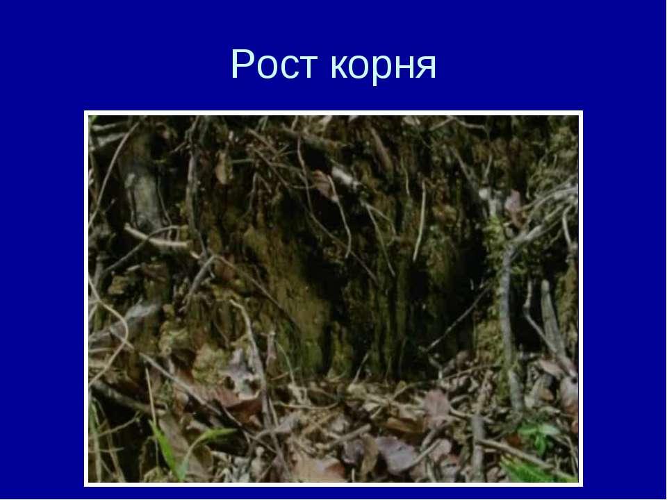 Рост корня