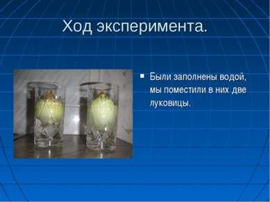 Ход эксперимента. Были заполнены водой, мы поместили в них две луковицы.