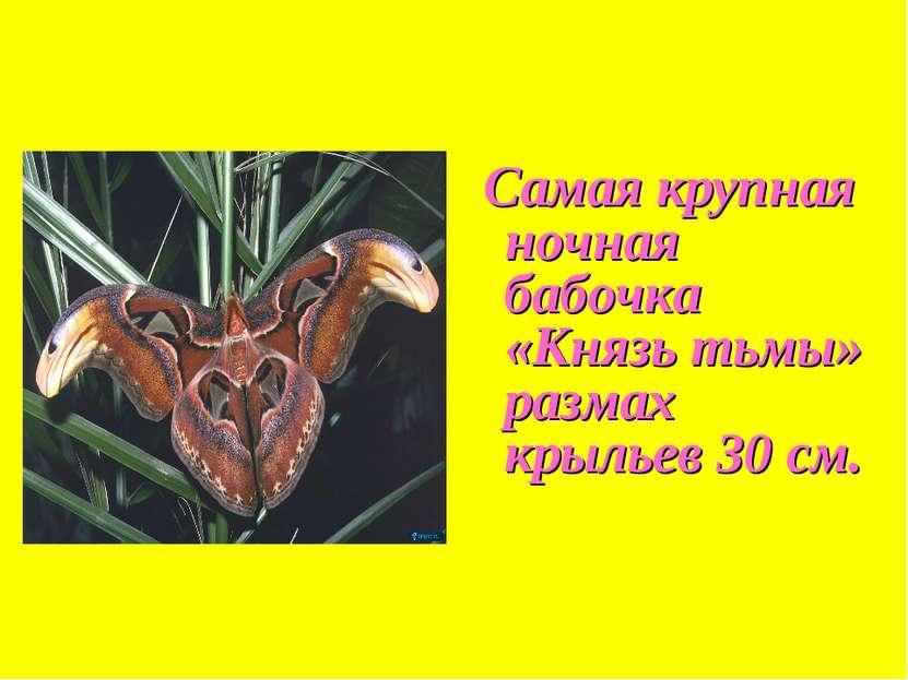 Самая крупная ночная бабочка «Князь тьмы» размах крыльев 30 см.