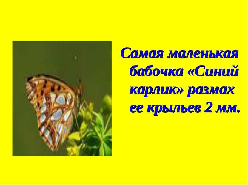 Самая маленькая бабочка «Синий карлик» размах ее крыльев 2 мм.