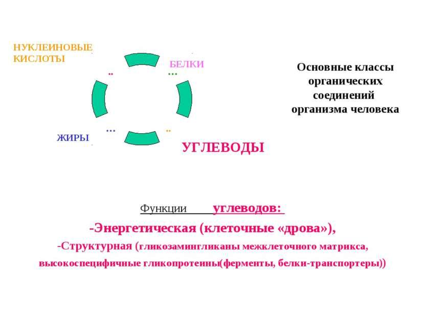 Основные классы органических соединений организма человека Функции углеводов:...