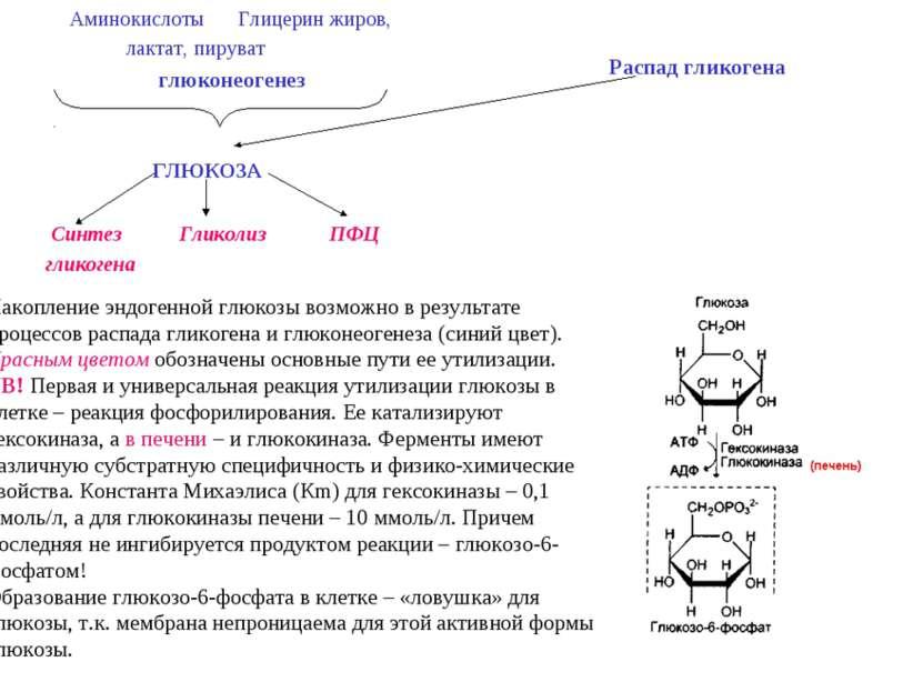 Аминокислоты Глицерин жиров, лактат, пируват глюконеогенез ГЛЮКОЗА Синтез Гли...