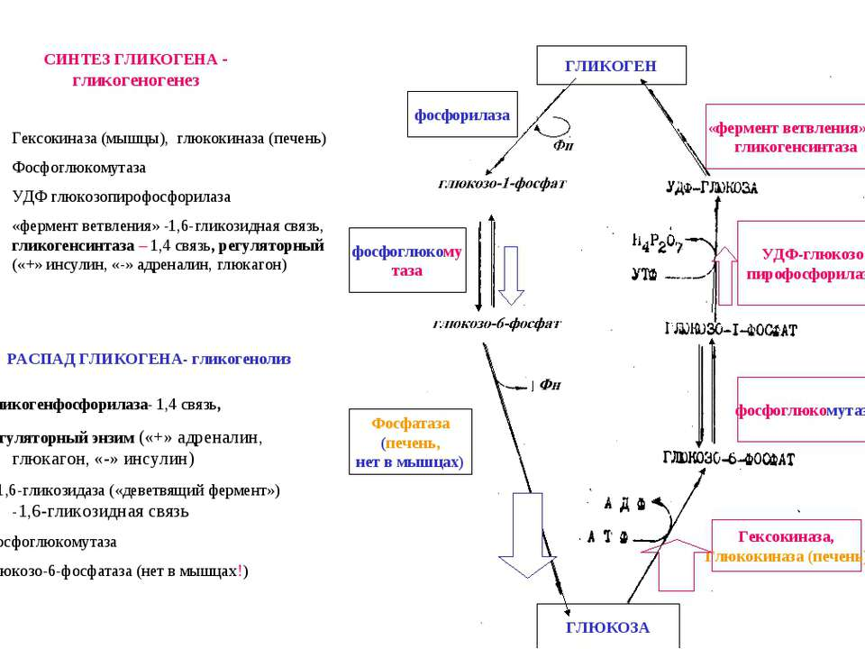 СИНТЕЗ ГЛИКОГЕНА - гликогеногенез «фермент ветвления» и гликогенсинтаза фосфо...