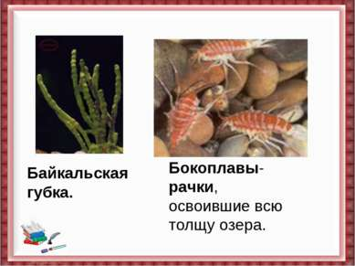 Байкальская губка. Бокоплавы-рачки, освоившие всю толщу озера.