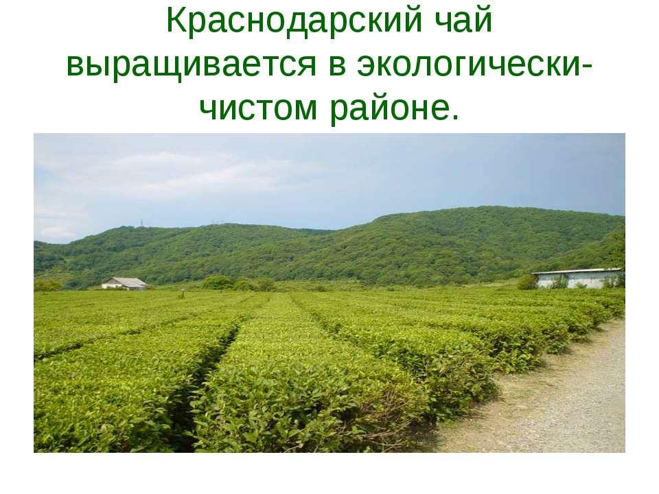 Краснодарский чай выращивается в экологически-чистом районе.