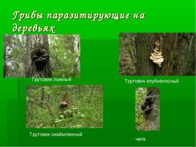 Грибы паразитирующие на деревьях Трутовик окаймленный чага Трутовик ложный Тр...
