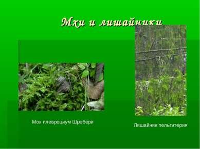 Мхи и лишайники Мох плевроциум Шребери Лишайник пельгитерия