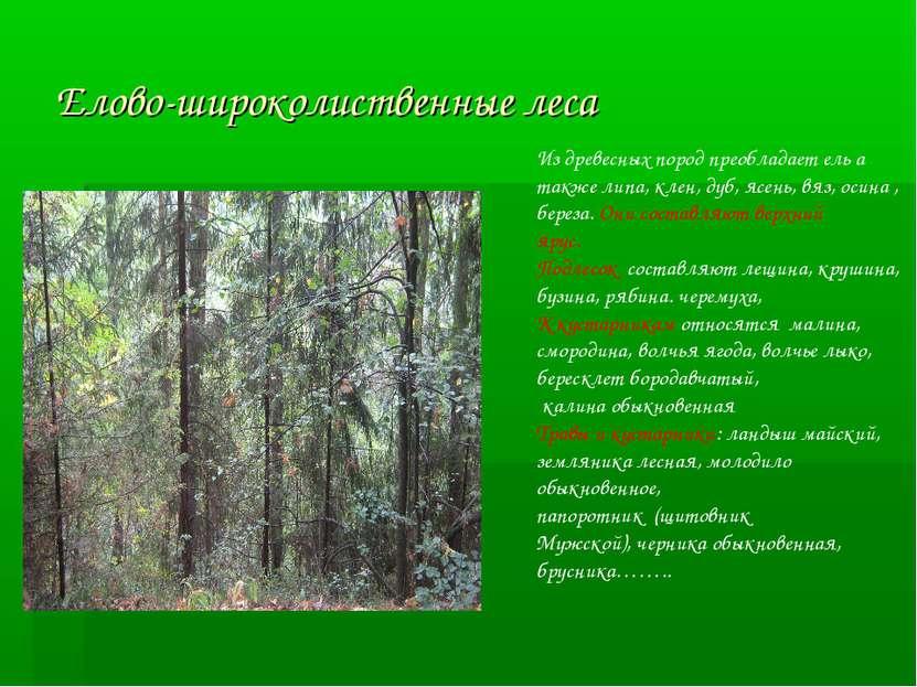 Елово-широколиственные леса Из древесных пород преобладает ель а также липа, ...