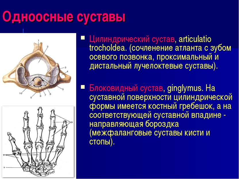 Одноосные суставы Цилиндрический сустав, articulatio trocholdea. (сочленение ...
