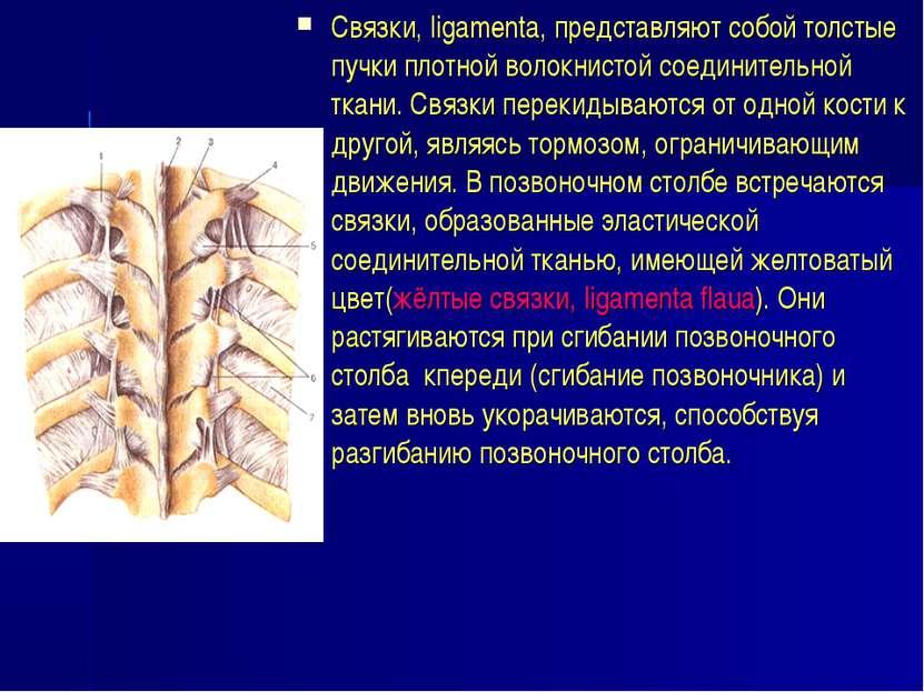Связки, ligamenta, представляют собой толстые пучки плотной волокнистой соеди...