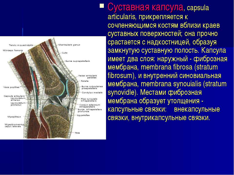 Суставная капсула, capsula articulаris, прикрепляется к сочленяющимся костям ...