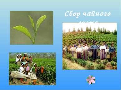 Сбор чайного листа