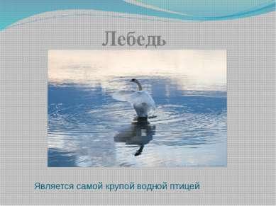 Является самой крупой водной птицей Лебедь
