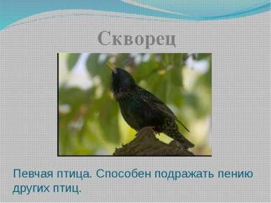 Певчая птица. Способен подражать пению других птиц. Скворец
