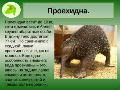 Тасманийский дьявол. Самым крупный из современных хищных сумчатых, с огромной...