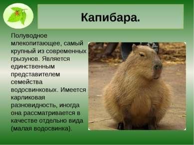 Долгопят. Млекопитающее из отряда приматов, Долгопяты живут на Земле 45 милли...