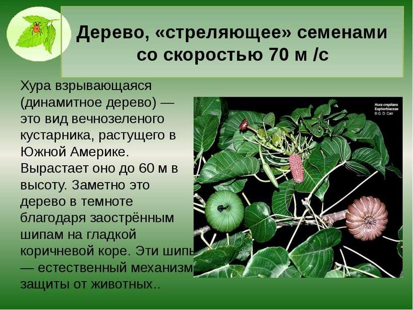 Гриб со вкусом курицы Трутовик серно-жёлтый — один из видов съедобных грибов....