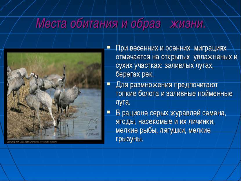 Места обитания и образ жизни. При весенних и осенних миграциях отмечается на ...