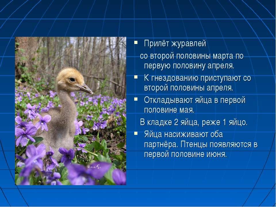 Прилёт журавлей со второй половины марта по первую половину апреля. К гнездов...