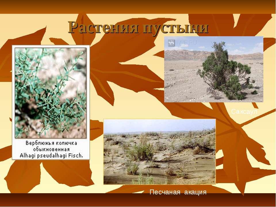 Растения пустыни Саксаул Песчаная акация
