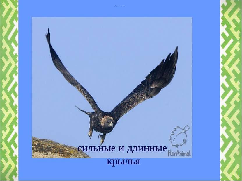 Беркут имеет самые сильные и длинные крылья
