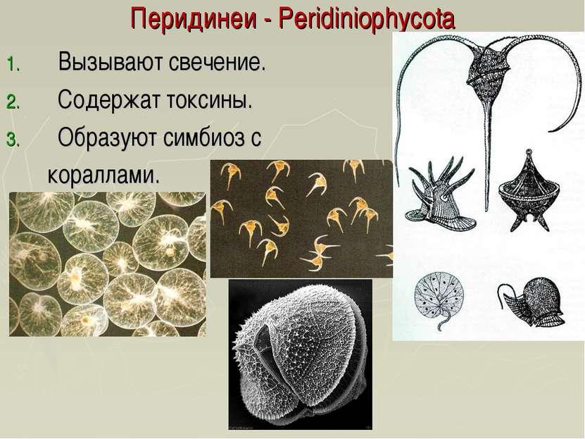 Перидинеи - Peridiniophycota Вызывают свечение. Содержат токсины. Образуют си...