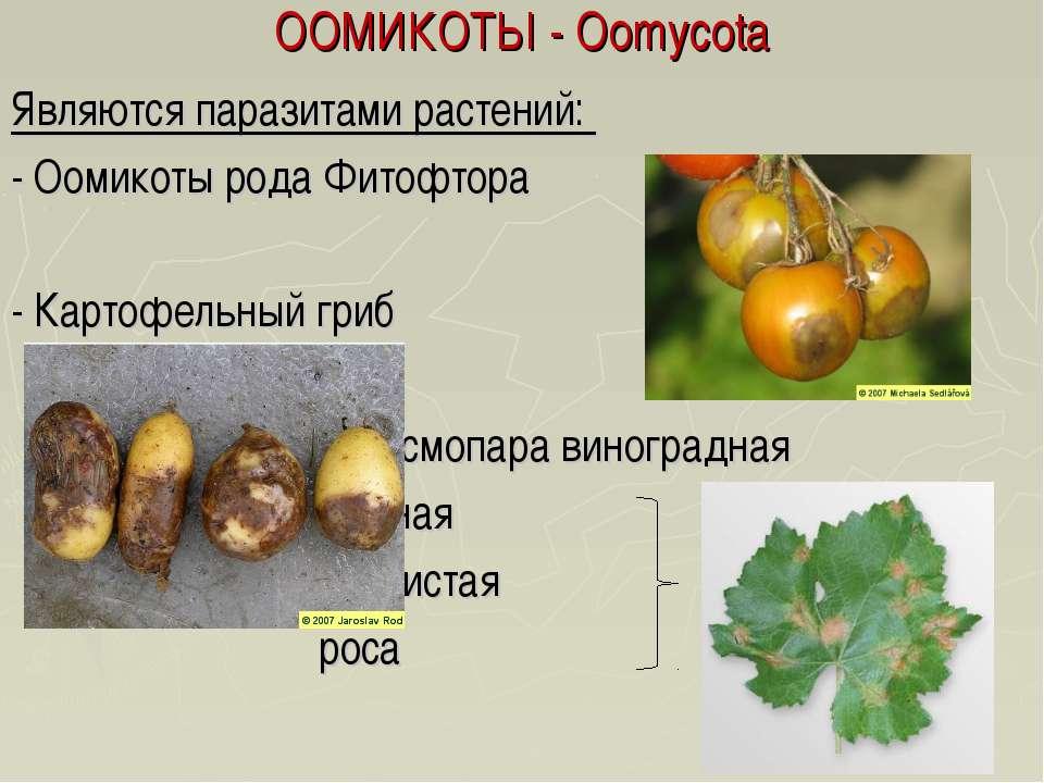 ООМИКОТЫ - Oomycota Являются паразитами растений: - Оомикоты рода Фитофтора -...