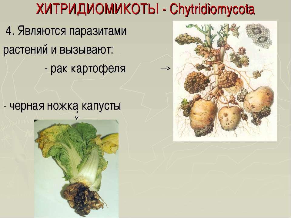 ХИТРИДИОМИКОТЫ - Chytridiomycota 4. Являются паразитами растений и вызывают: ...