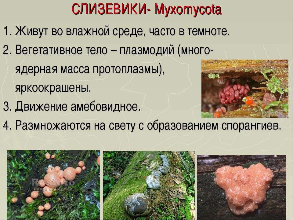 СЛИЗЕВИКИ- Myxomycota 1. Живут во влажной среде, часто в темноте. 2. Вегетати...