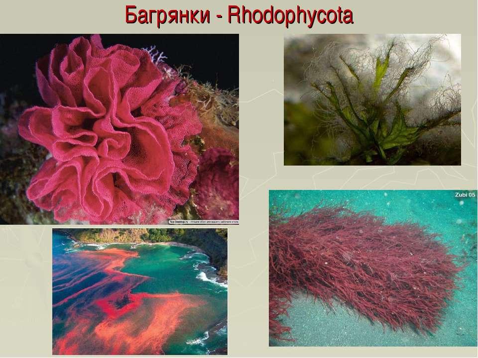 Багрянки - Rhodophycota