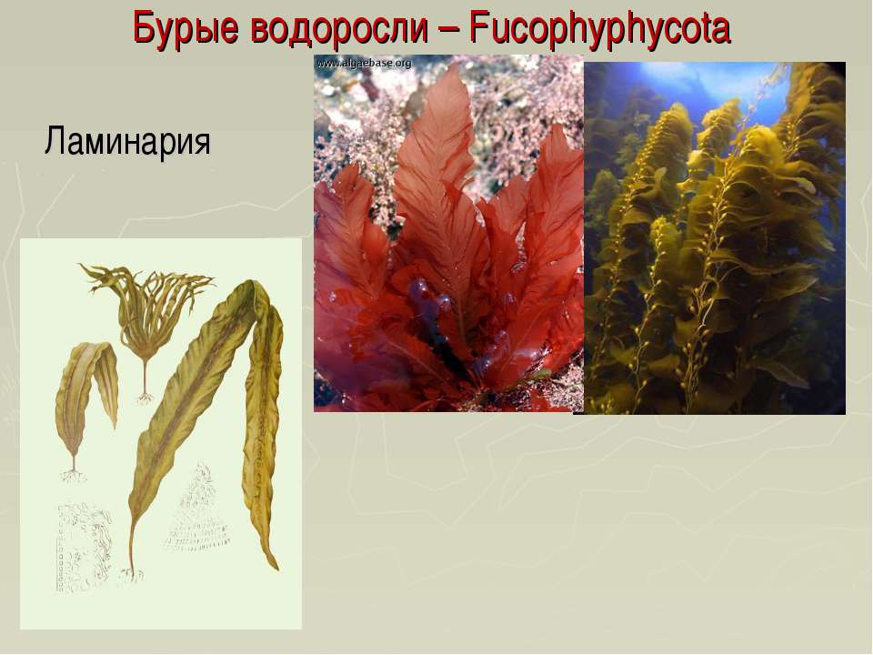 Бурые водоросли – Fucophyphycota Ламинария