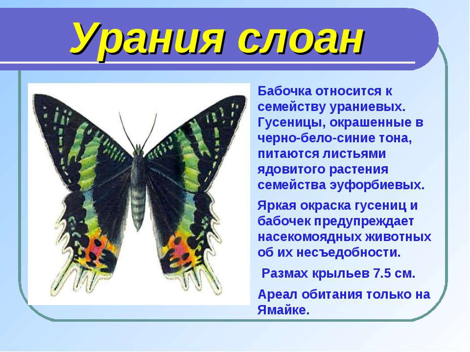 Урания слоан Бабочка относится к семейству ураниевых. Гусеницы, окрашенные в ...