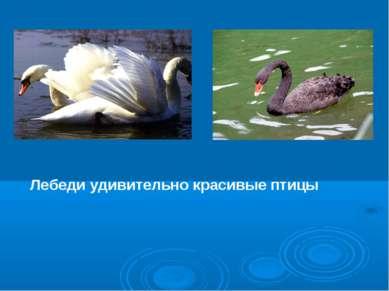 Лебеди удивительно красивые птицы