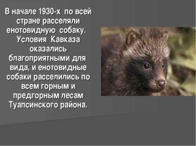 В начале 1930-х по всей стране расселяли енотовидную собаку. Условия Кавказа ...