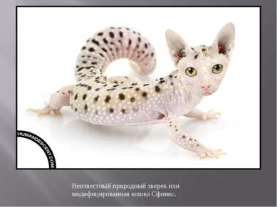 Неизвестный природный зверек или модифицированная кошка Сфинкс.