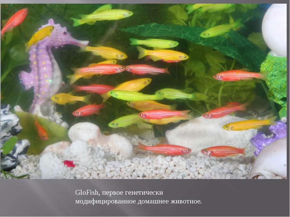 GloFish, первое генетически модифицированное домашнее животное.