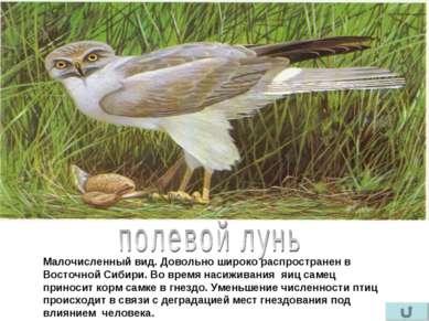 Малочисленный вид. Довольно широко распространен в Восточной Сибири. Во время...