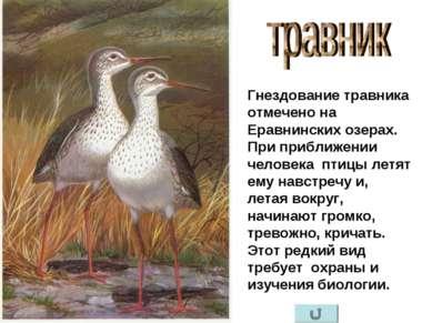 Гнездование травника отмечено на Еравнинских озерах. При приближении человека...