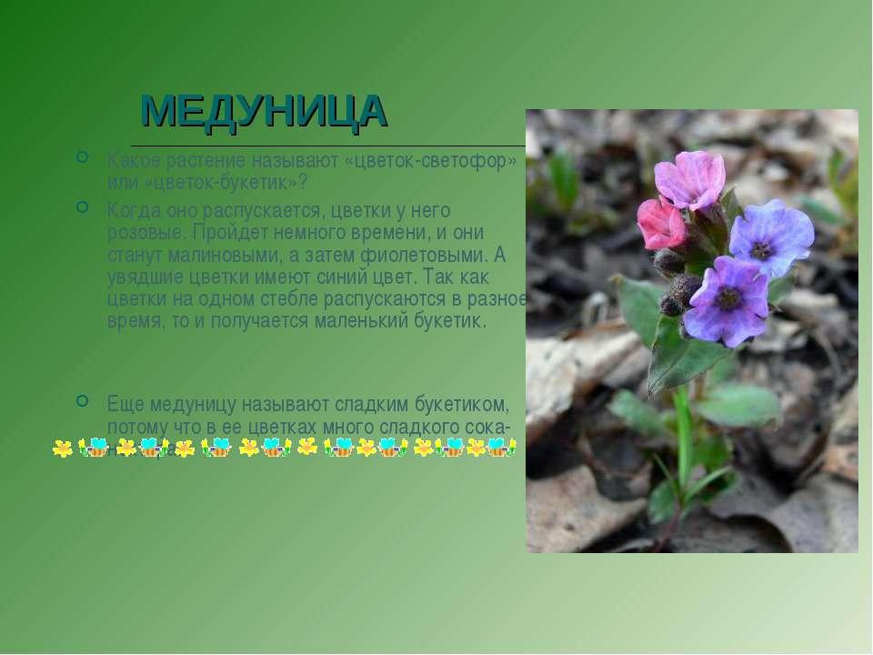 МЕДУНИЦА Какое растение называют «цветок-светофор» или «цветок-букетик»? Когд...