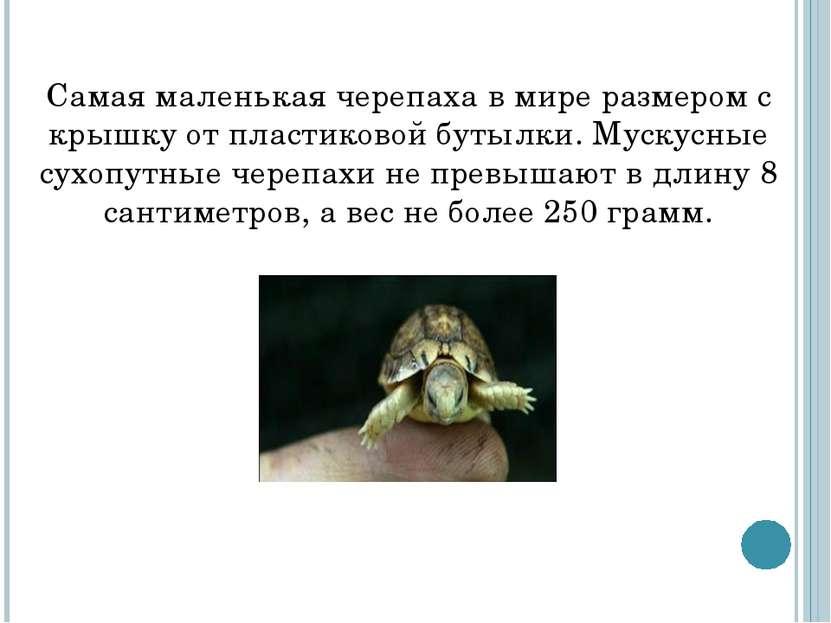 Самая маленькая черепаха в мире размером с крышку от пластиковой бутылки. Мус...
