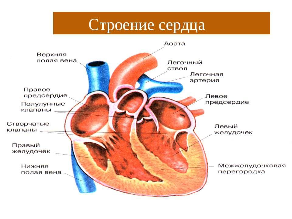 Строение сердца Строение сердца