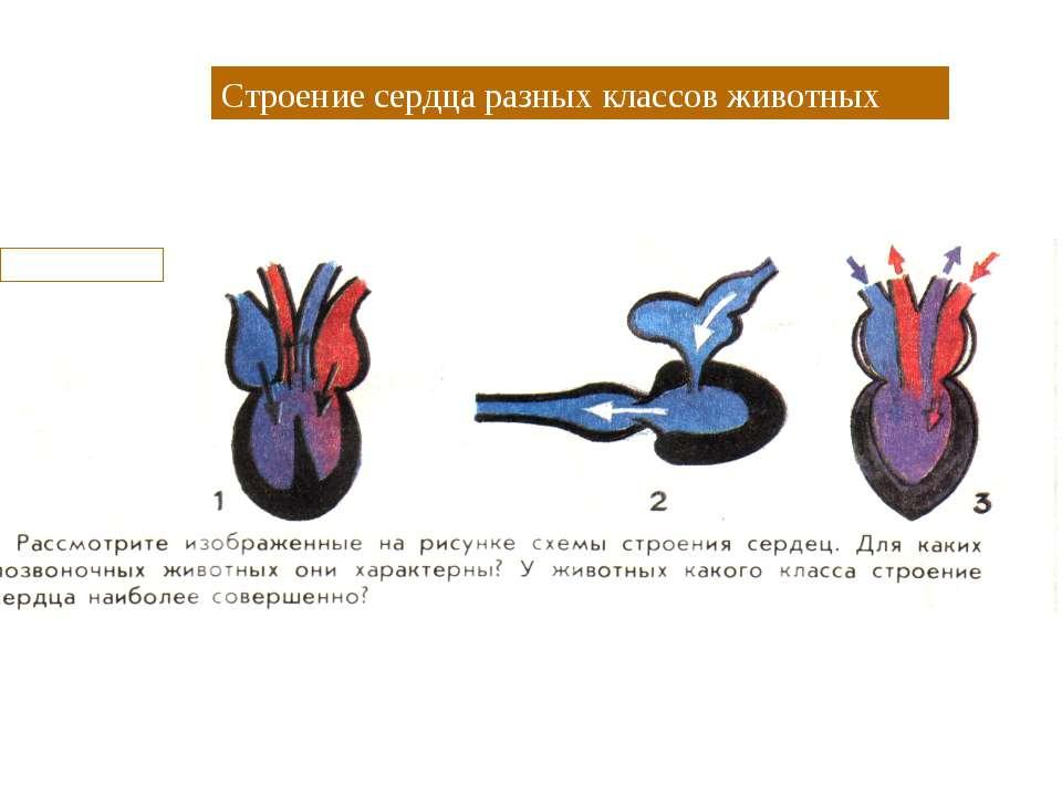 Строение сердца разных классов животных