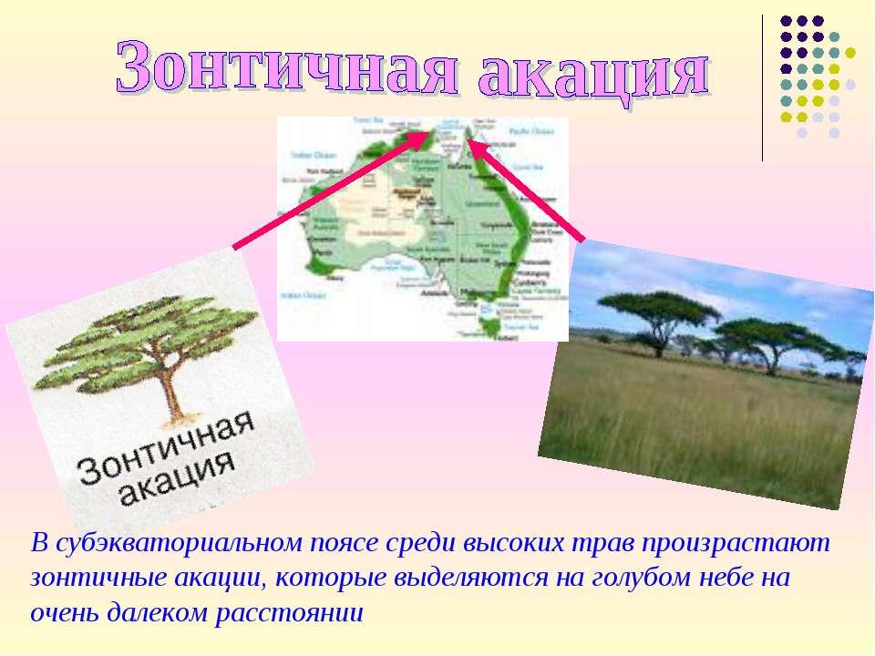 В субэкваториальном поясе среди высоких трав произрастают зонтичные акации, к...