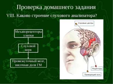 Проверка домашнего задания VIII. Каково строение слухового анализатора?