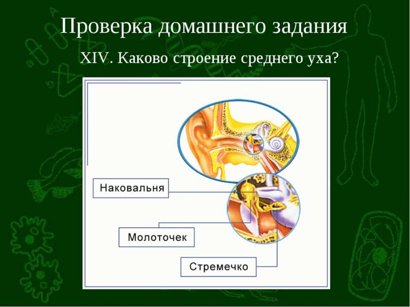 Проверка домашнего задания XIV. Каково строение среднего уха?